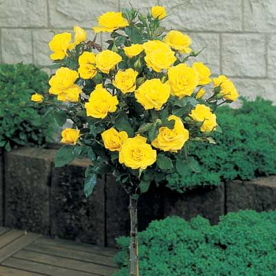 Yellow Knockout Roses For Sale | The Yellow Rose of Texas, Harrison's Yellow Rose, Rosa harisonii