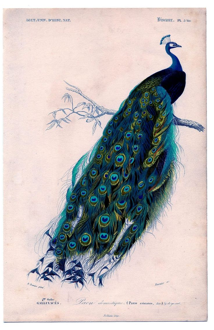 Peacock feather fabric shower curtain quot teal peacock feather quot green - Vintage Clip Art Natural History Stunning Peacock