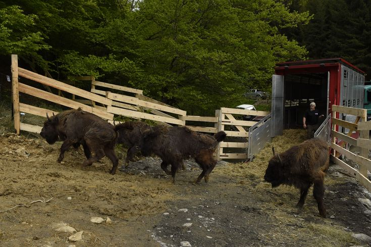 rewilding europe - The second stage of bison rewilding is taking place on June 12 and 13 near Armenis Municipality, Romania