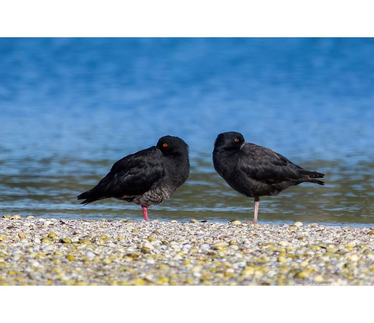 A pair of Variable Oystercatchers (Haematopus unicolor), or Toreapango, chilling out while watching me inch closer and closer in a serpentine fashion.