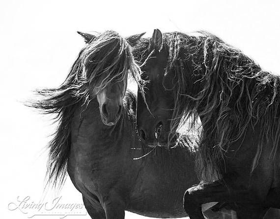 Two Sable Island Stallions II - Fine Art Horse Photograph - Horse - Sable Island - Wild Horse - Blac