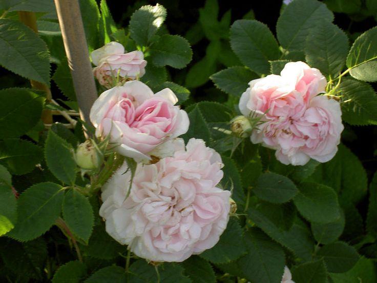 Dagens ros - Maiden's Blush - Rossorter - Trädgård iFokus