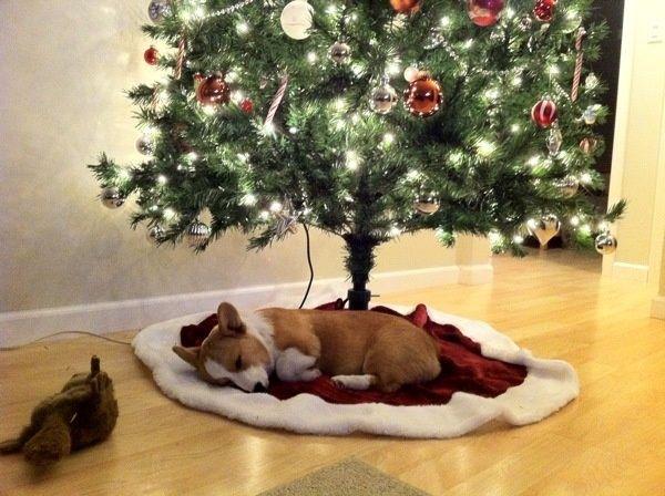 Christmas Corgi, best present in the world!!!!
