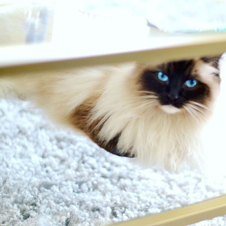 Cute Cats And Kittens Ragdoll Cat With Blue Eyes Cat Photos And Images Cute A Blue Cat Cats C Cute Cats And Kittens Ragdoll Cat Cat With Blue Eyes