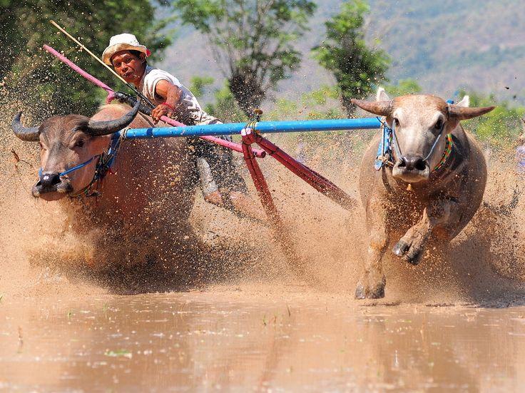 Berapan Kebo ist der Sumbawanesische Ausdruck von Freude und der Dankbarkeit zu Gott für den gefallenen Regen. In den Regionen mit ausgeprägten Trockenperioden besteht diese Tradition schon seit mehreren Jahrhunderten. Mittlerweile haben sich die Büffelrennen in den unterschiedlichsten Ausprägungen im gesamten Inselreich als  Volkssport etabliert. Beim Rennen über ein Reisfeld muss in 100m Entfernung eine Zielmarke überfahren werden. Die Rennen finden in 9 unterschiedlichen Kategorien statt…