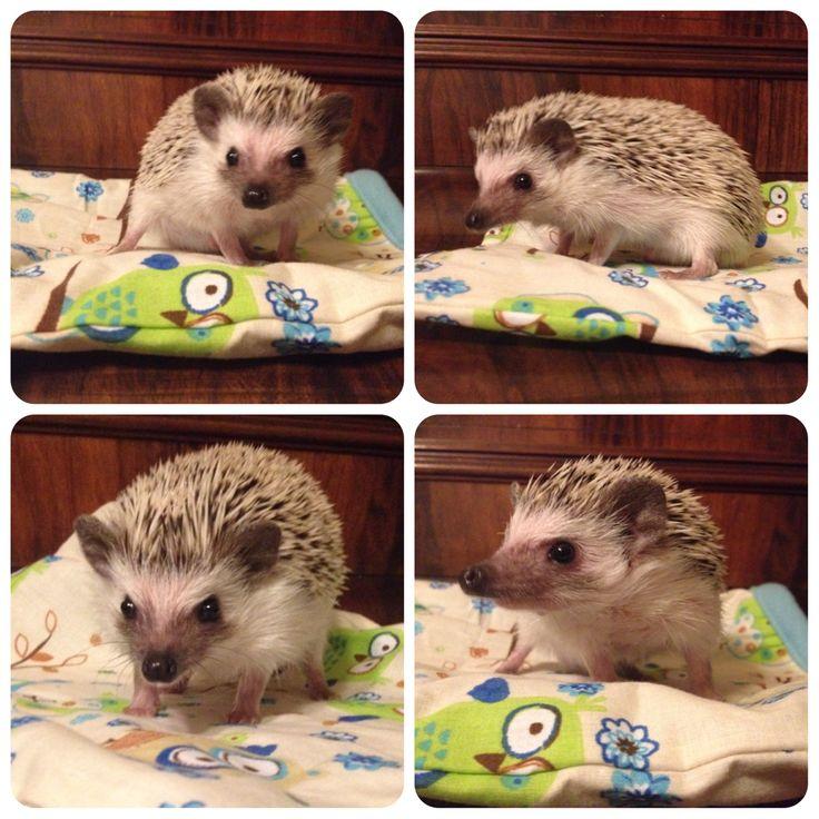 Pygmy hedgehog Ďáblík :)