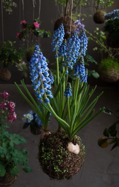 Grape hyacinth. Need some!