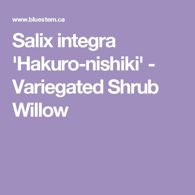 Salix integra 'Hakuro-nishiki' - Variegated Shrub Willow