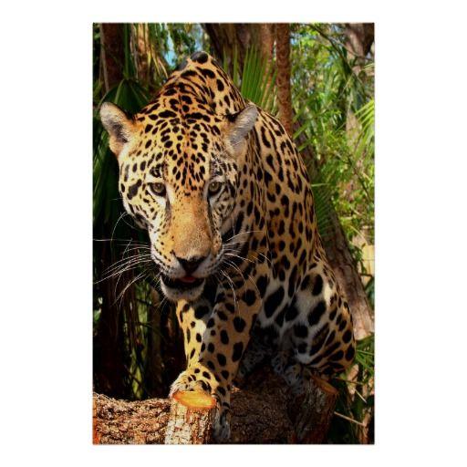 Belize/Cockscomb Basin Wildlife Sanctuary/  Jaguar Poster