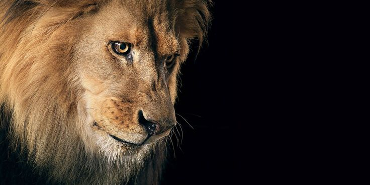 Sad Lion High Definition Wallpaper