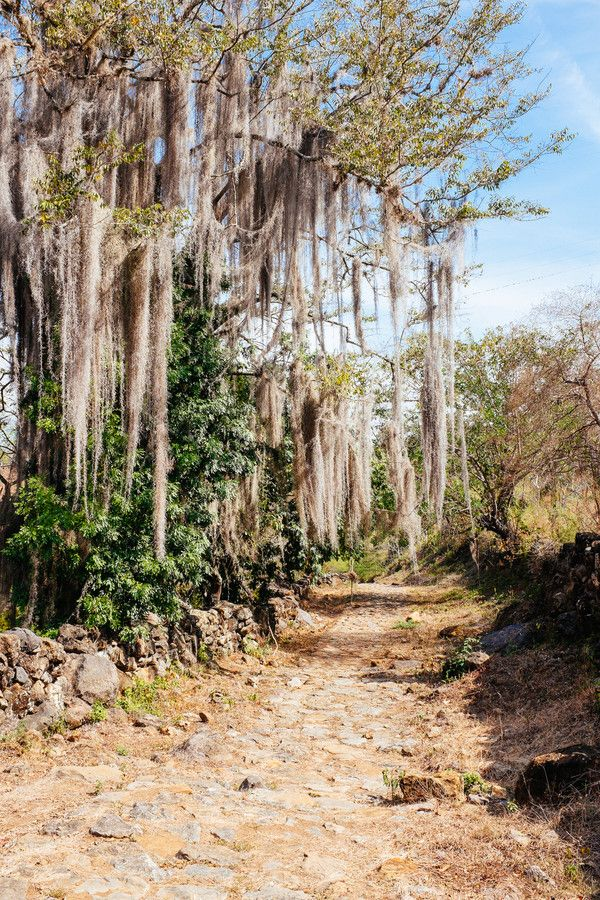 Camino colonial Barichara - Guiane Bearded Tree by Andreas Philipp on 500px