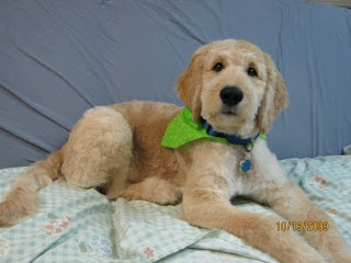 Goldendoodle haircut