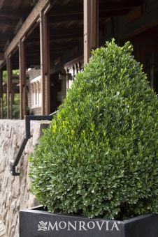 Monrovia's Petite Pillar™ Dwarf Boxwood details and information. Learn more about Monrovia plants and best practices for best possible plant performance.