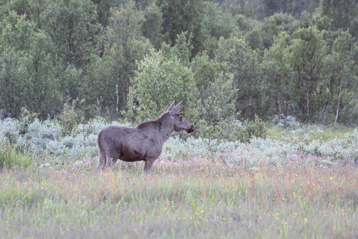 Moose Gausdal, Norway. www.inatur.no/storviltjakt/514ae07be4b0be84a4824a7b/elgjakt-dyrkingsfeltet-b-i-gausdal-statsalmenning | Inatur.no
