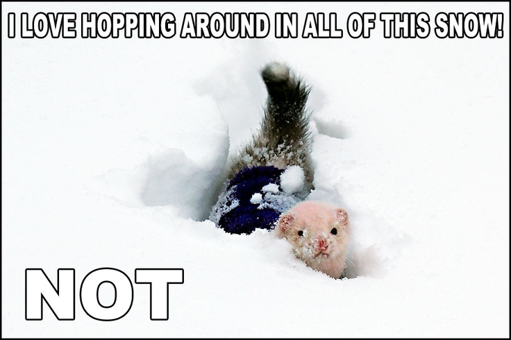 pin ferret meme on - photo #48