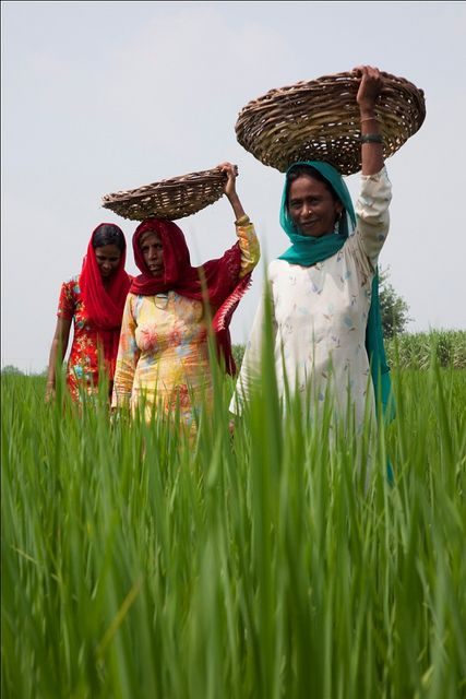 Female farm labourers walk through minimum-till rice crop in the farm of Samir Jawa at Jundla village. Women play a critical role in agricultural development, but are vastly underrepresented in agricultural research. A grant to the Consultative Group on International Agricultural Research will provide two-year fellowships and mentoring, so that hundreds of women scientists can continue their educations and take up careers in agricultural research. (Karnal, India, 2009)