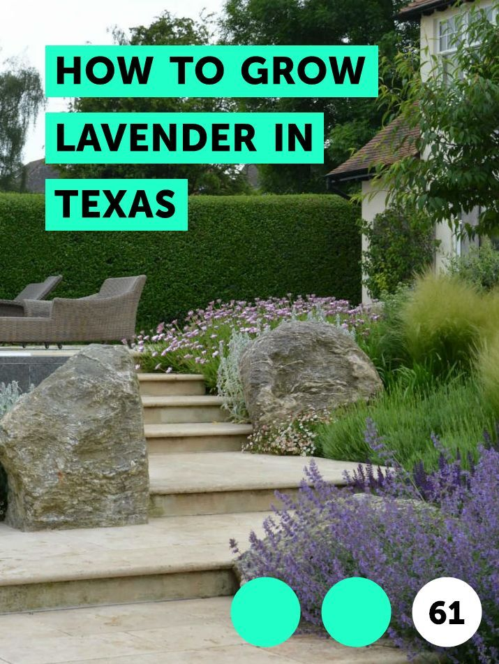 How To Grow Lavender In Texas Growing Herbs
