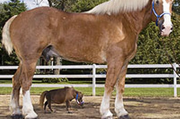 radar le plus grand cheval du monde seulement pour un temps ils ont la vie courte avec. Black Bedroom Furniture Sets. Home Design Ideas