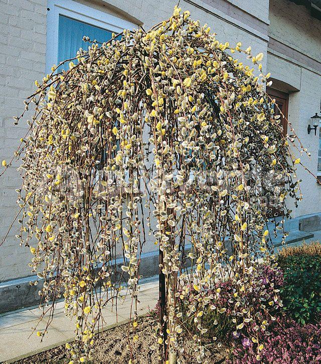 7 best salix caprea images on pinterest shrubs shrub. Black Bedroom Furniture Sets. Home Design Ideas