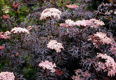 Sambucus Black Lace or Sambucus nigra Thundercloud Feuilles très découpées. Croissance rapide haut 4 à 5m pour 2 à 3m de large http://arrosoirs-secateurs.com/Sambucus-nigra-Black-Lace