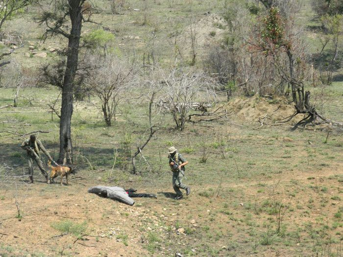 Observant tourists get two rhino poachers arrested in Kruger National Park.