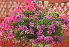 Order Cheap Hanging Basket Plants Online - Buy Online | Van Meuwen