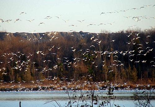 Étang Burbank, migration des oies des neiges en Octobre.