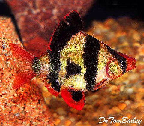 1354 besten freshwater fish bilder auf pinterest fische for Seltene zierfische