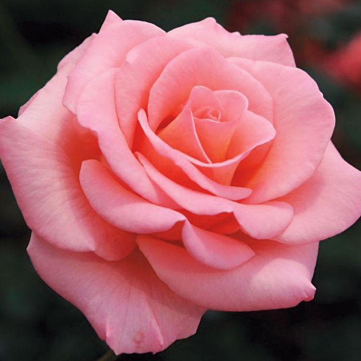 Rose скачать торрент - фото 3