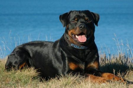 German Dog Breeds: Rottweiler