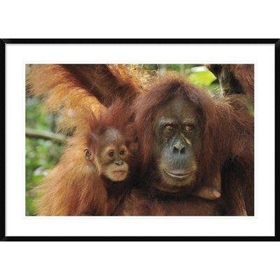Global Gallery 'Sumatran Orangutan Mother with Young, Gunung Leuser National Park, Northern Sumatra, Indonesia' Framed Photographic Print Size: