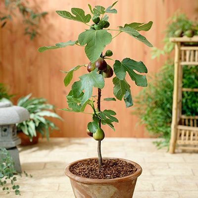 Withstands Temperatures down to -10F   -   A Cold-Hardy, No-Fuss Fig    No matter how cold it gets, the Chicago Hardy Fig Tree will never let you down. It's a Fig-yielding machine that can withstand some of the coldest winter temperatures Mother Nature can dish out. Also known as the Cold Hardy Fig, it can literally freeze over...