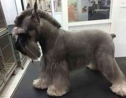 17+ best ideas about Dog Haircuts on Pinterest | Dog ...