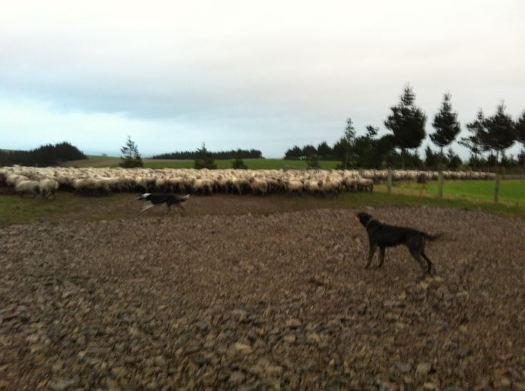 Sheep and dogs