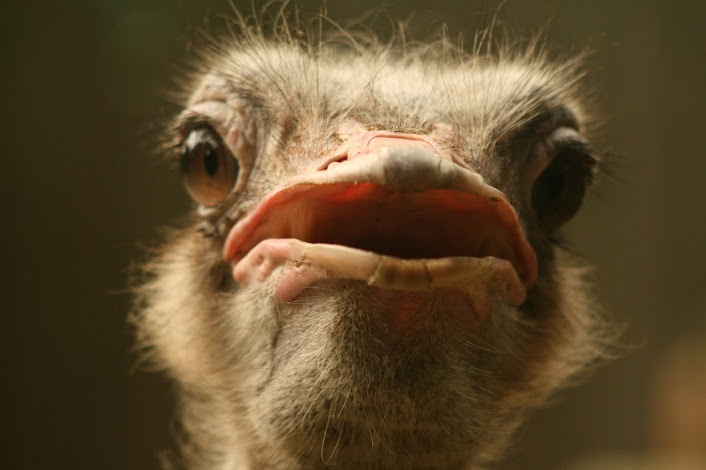 Ostrich. Not running away for a fight.