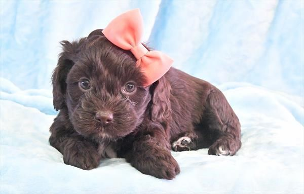 Puppies For Sale Petland In Overland Park Kansas City Puppies For Sale Cockapoo Puppies For Sale Puppies