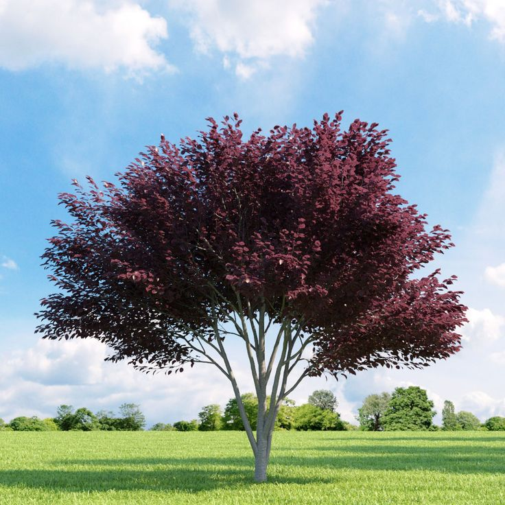 prunus blireana - Google Search