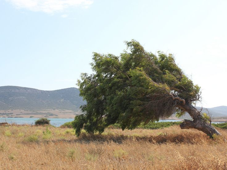 A tree bent by the wind on Antiparos, Greece