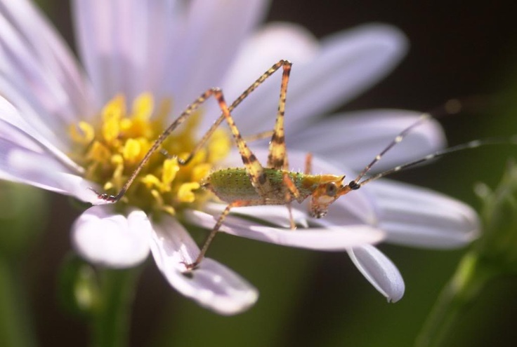 Grasshopper on Flower - Daisy