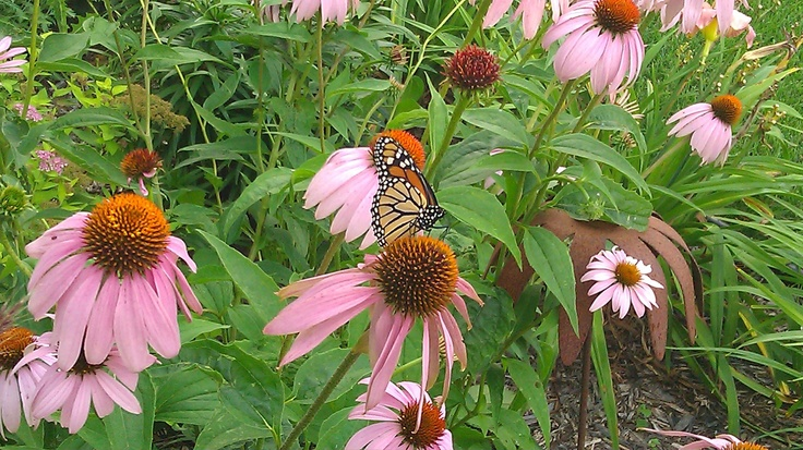 A monarch butterfly enjoying the coneflowers in my front flower bed. Nature is cool.
