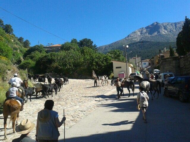 Enganchados a la trashumancia en Gredos