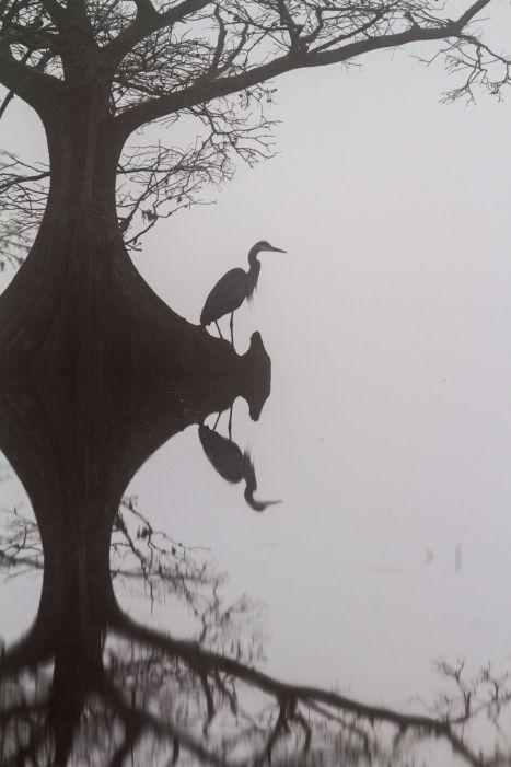 Great Blue Heron on foggy morning at Mattamuskeet