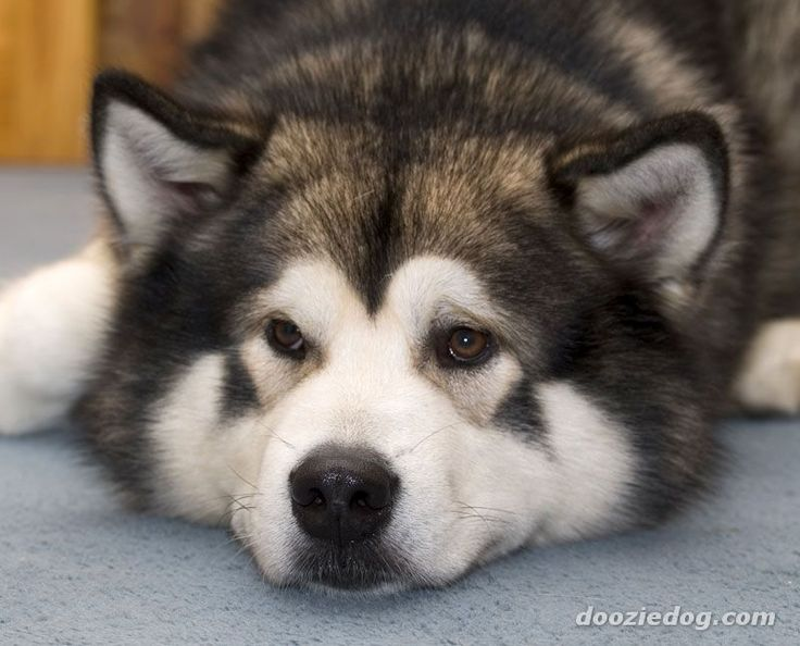 Alaskan Malamutes are beautiful dogs that can get up to 120 lbs!