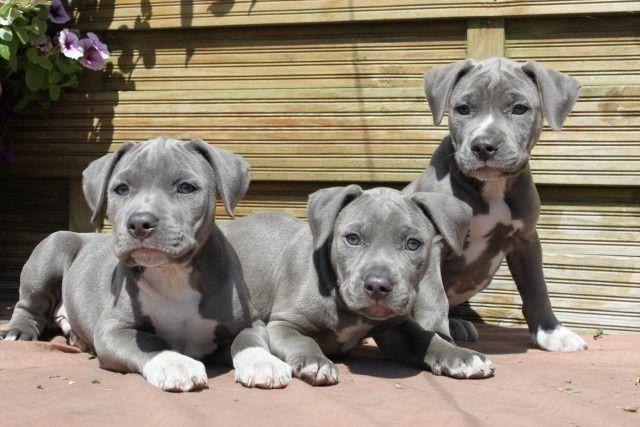 American Staffordshire terrier. dogsandpupsdaily