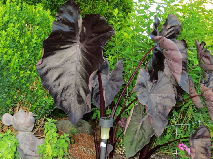 Black Very DARK PURPLE Large Elephant Ear Colocasia Plant
