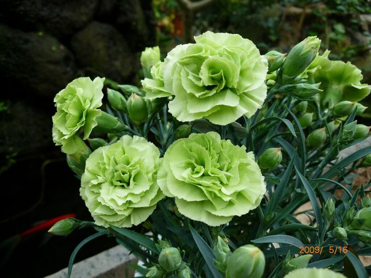 Green Mini Carnations