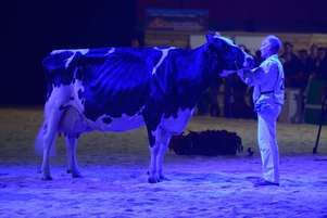 Na jaren van hoge productie toch tentoonstelling winnen - Melkvee.nl -  Koe met 140.000 kg melk wint nationale show