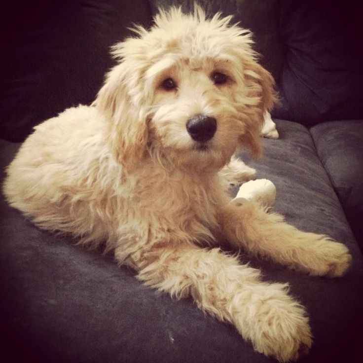 Super Cute Schnoodle Schnoodle Poodle Dogs Schnauzer Puppy Dog Schnoodlelove Love Schanuzermix Happy Polotheschn Schnoodle Cavapoo Puppies Dog Care