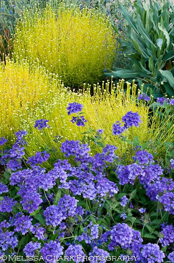 pop of color - Santolina 'Lemon Fizz' and purple annual Verbena, landscaping, yellow and purple flowers, bright foliage options, gardening, garden design, landscape design, landscape architecture, plant combos, plant combinations