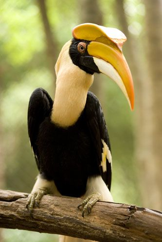 Hornbills are a family of bird found in tropical and subtropical Africa, Asia and Melanesia. They are characterized by a long, down-curved bill which is frequently brightly colored and sometimes has a casque on the upper mandible. Hornbills are the only birds in which the first two neck vertebrae (the axis and atlas) are fused together; this probably provides a more stable platform for carrying the bill. The family is omnivorous, feeding on fruit and small animals.